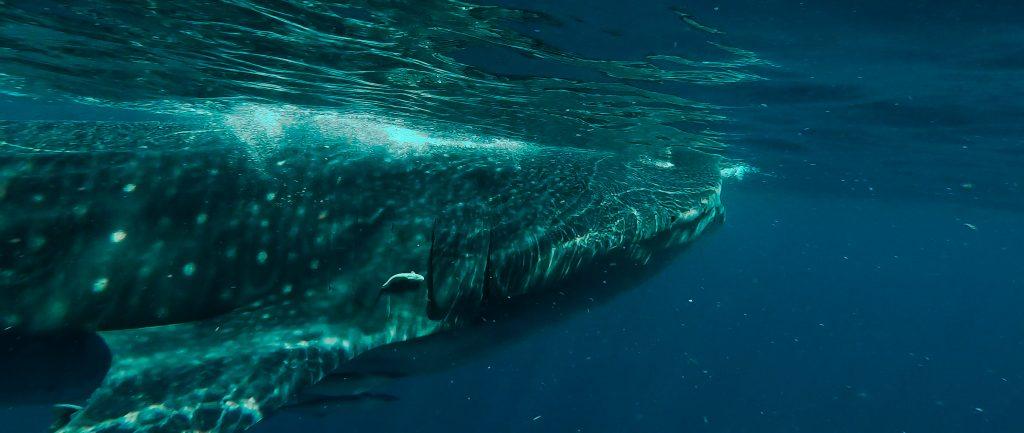requins baleines, yucatan, nager avec les requins baleines, voyager au mexique, mexique, riviera maya